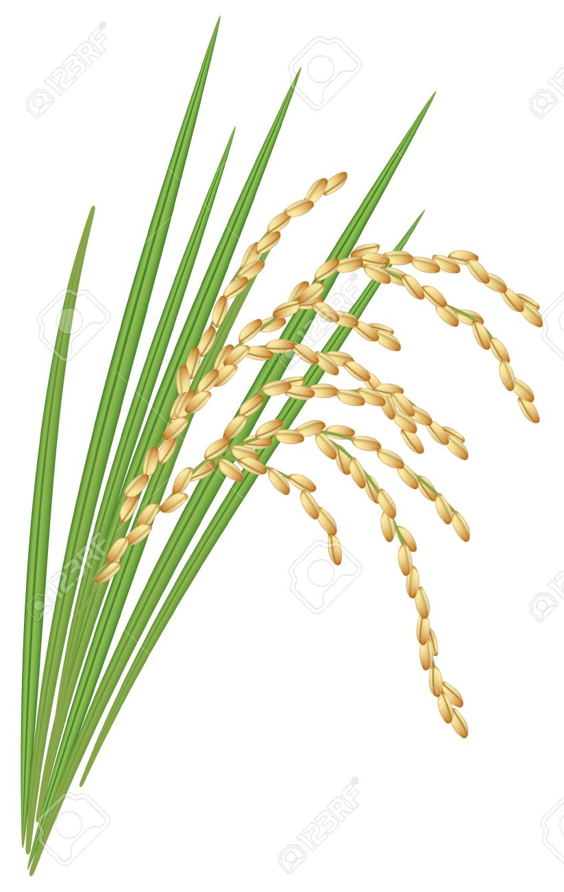 Spikelet Of Rice With The Leaves Royalty Free Cliparts, Vectors.