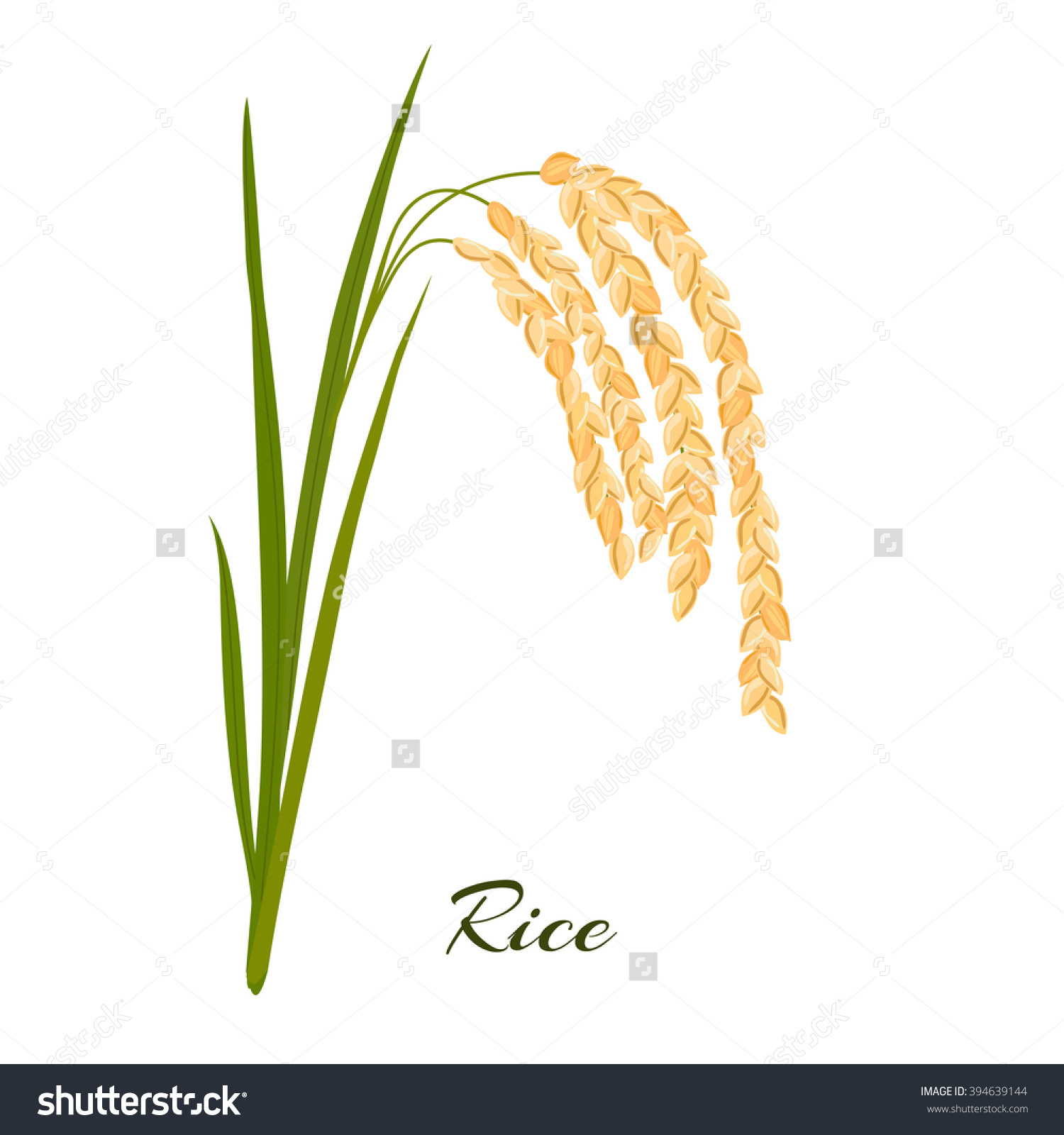 Rice Leaves Spikelets Rice On White Stock Vector 394639144.