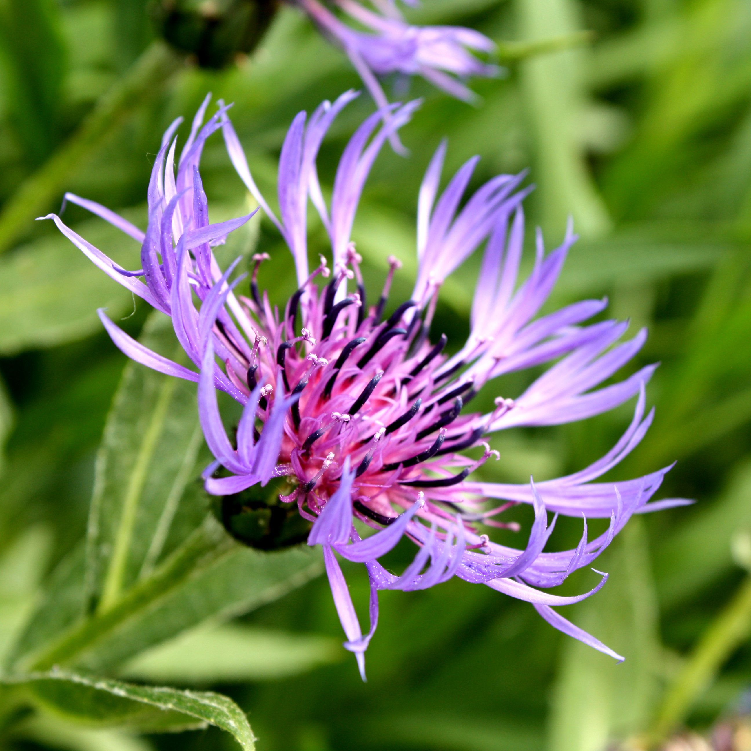Purple Mountain Cornflower with Spiky Petals Picture.