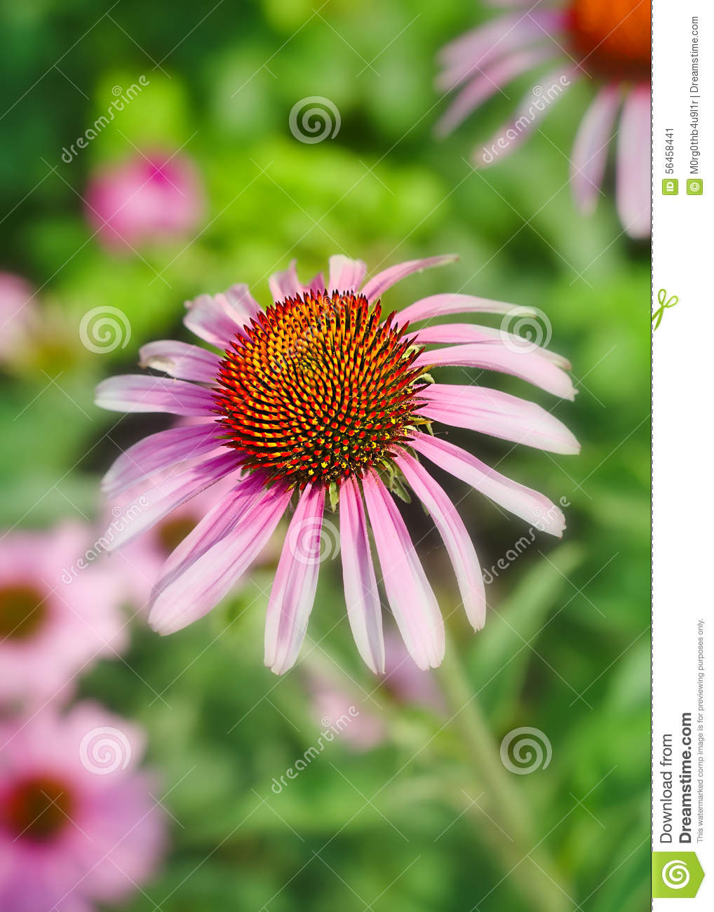 Flower With Pink Petals And Spiky Stamens Stock Photo.