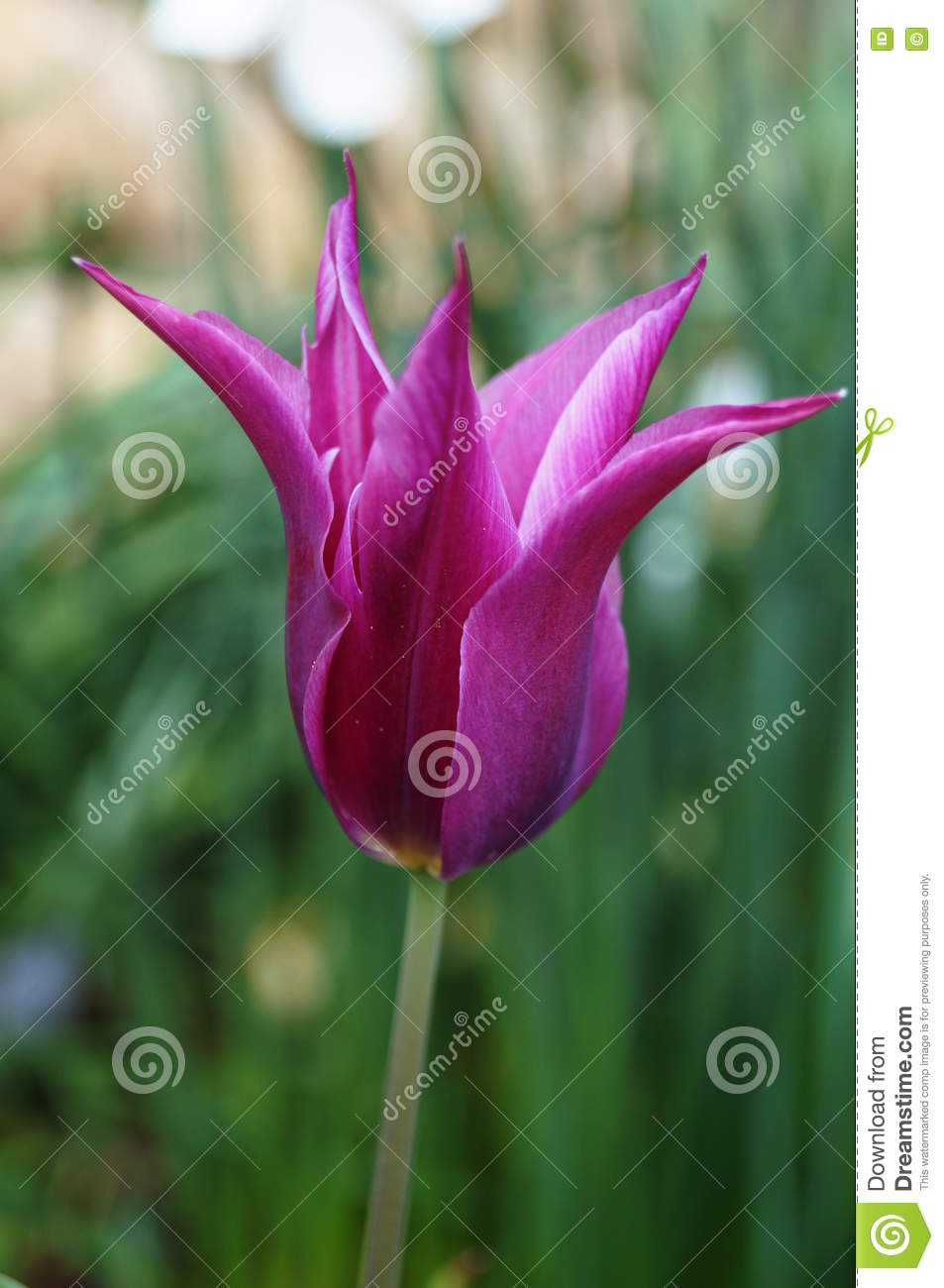 Flower Tulip With Spiky Petals Closeup Stock Photo.