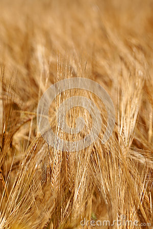 Corn Field With Barley Spike Stock Photos.