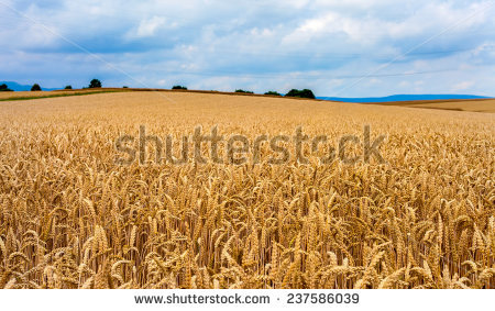 Feed barley Stock Photos, Images, & Pictures.