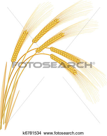 Clipart of Rye spikelets on a white background. Vector.