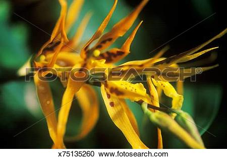 Stock Photography of Orchid brassia hybrid, close up of spiky.