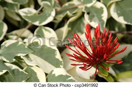Stock Photo of Tropical Red Spiky Flowers.