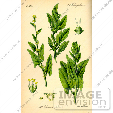 Picture of Spinach (Spinacia oleracea).