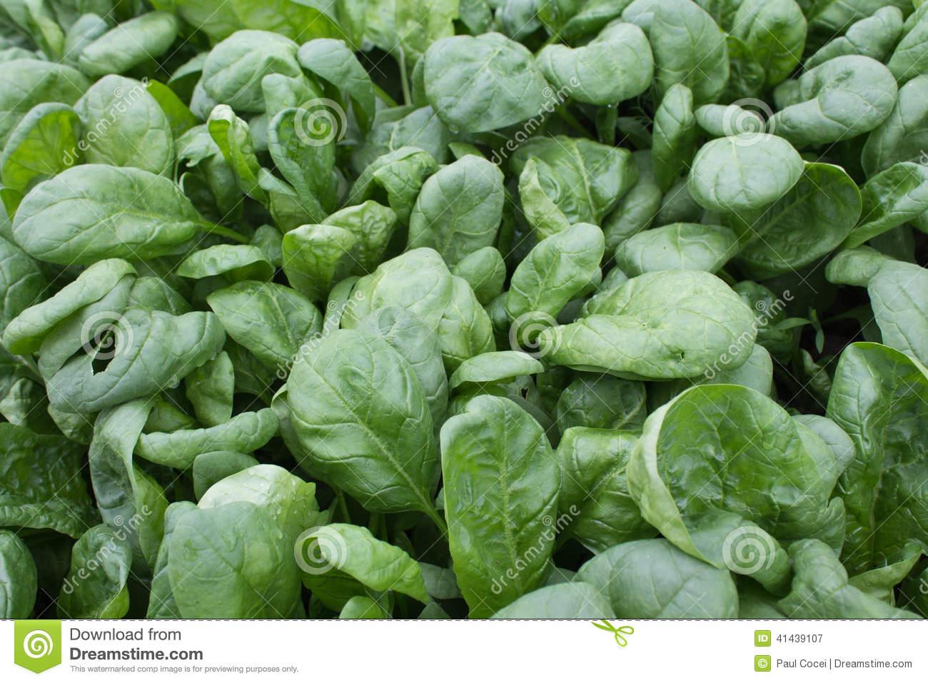 Spinach (Spinacia Oleracea) Stock Photo.