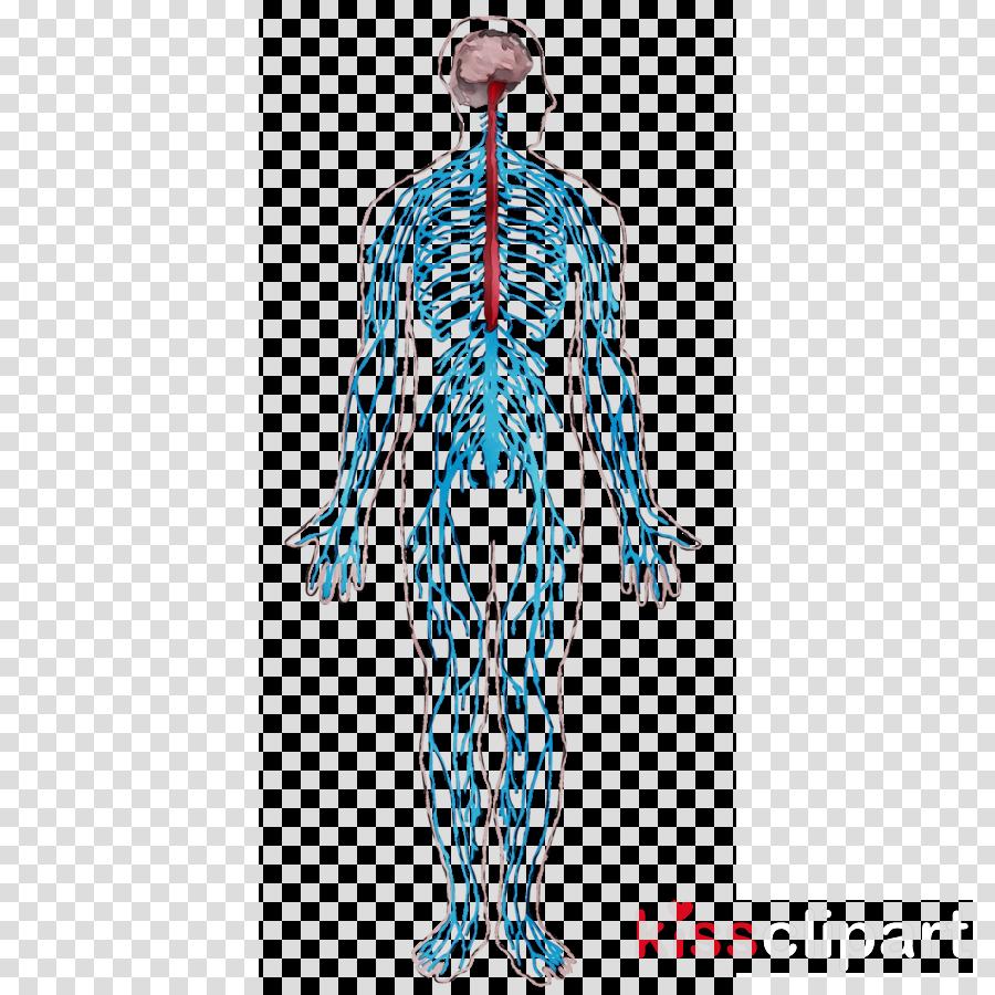 standing clipart Nerve Spinal cord Shoulder clipart.