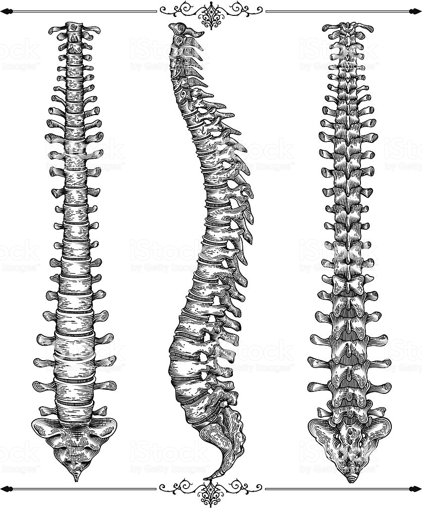 Download spine bone drawing clipart Vertebral column Human.