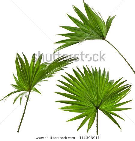 17 Best ideas about Livistona Rotundifolia on Pinterest.