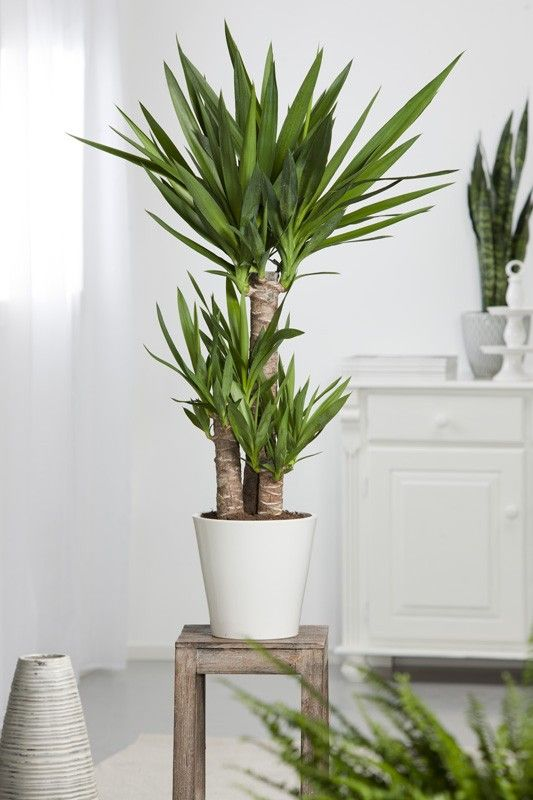1000+ images about Plants&Design: Yucca on Pinterest.