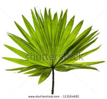 1000+ ideas about Livistona Rotundifolia on Pinterest.