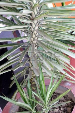 Yucca Leaves Images & Stock Pictures. Royalty Free Yucca Leaves.