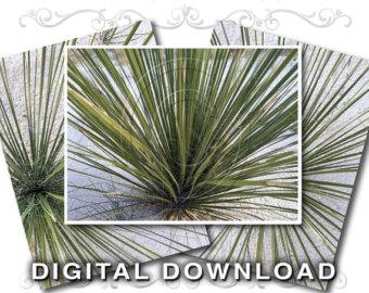 Yucca plant.