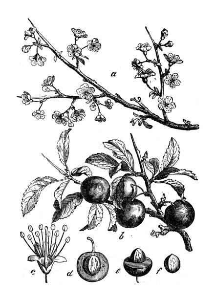Prunus Spinosa Clip Art, Vector Images & Illustrations.