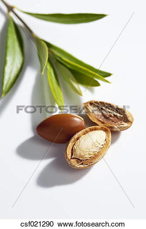 Stock Photography of Argan nuts and leaves from Argan tree.