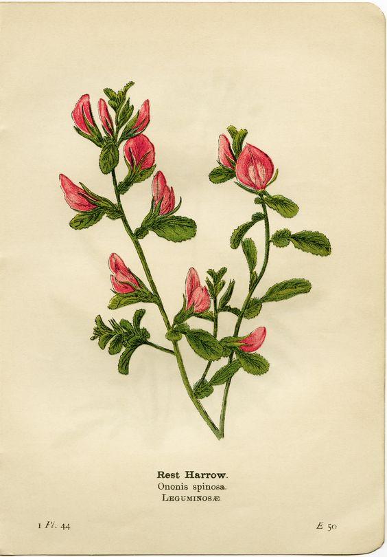 rest harrow, ononis spinosa, pink flower printable, vintage flower.