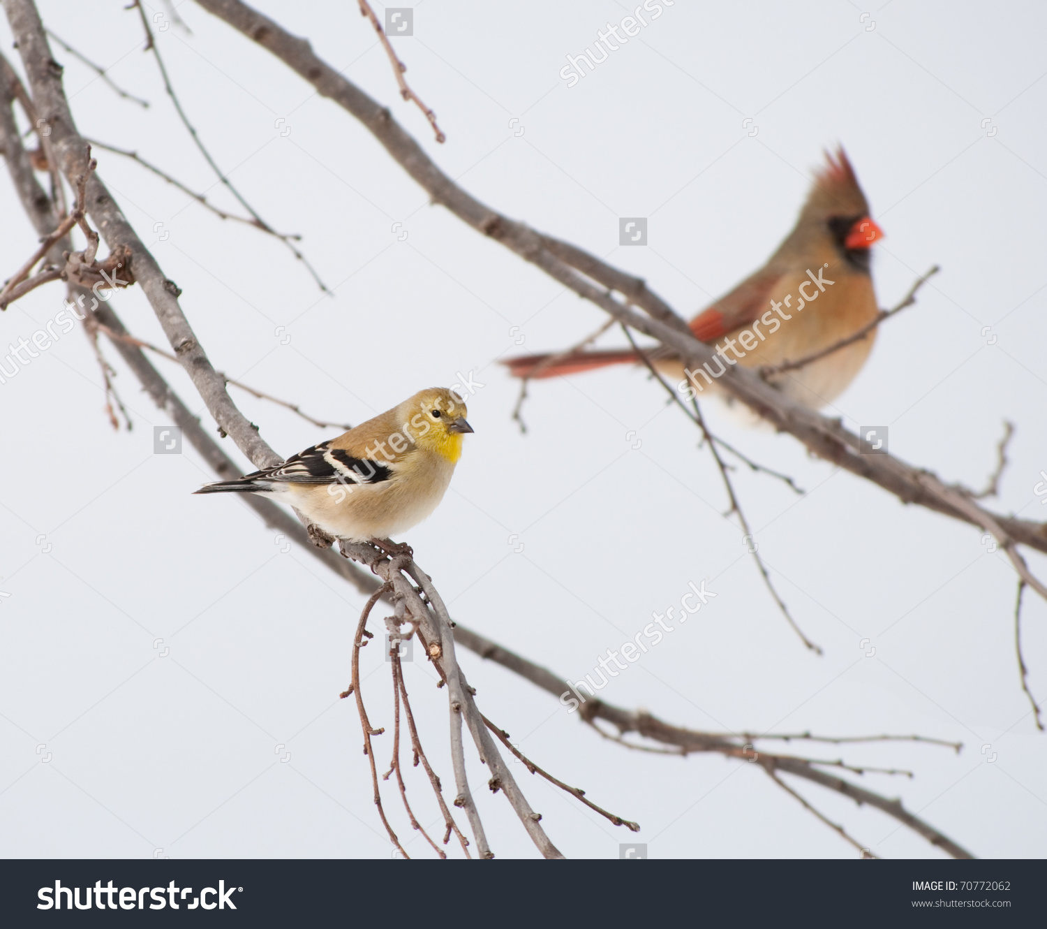 American Goldfinch, Spinus Tristis, In Its Winter Plumage, Perched.