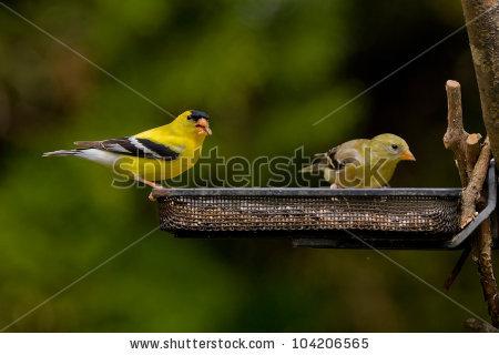 Goldfinch Birds Stock Photos, Royalty.