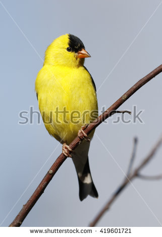 Goldfinch Stock Images, Royalty.