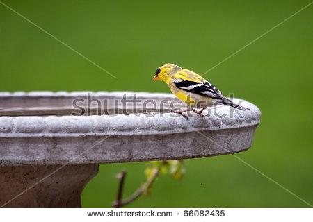 """goldfinch Birds"""" Stock Photos, Royalty."""