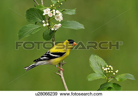 Stock Photograph of Male American Goldfinch (Spinus tristis) on.
