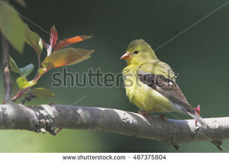 Female Goldfinch Stock Photos, Royalty.