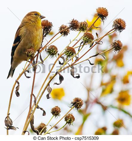 Stock Photographs of American Goldfinch (Spinus tristis) in dead.