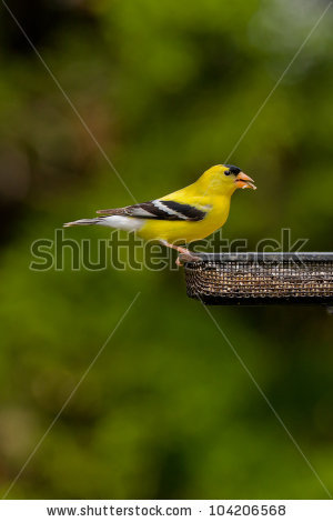 American Goldfinch Stock Photos, Royalty.