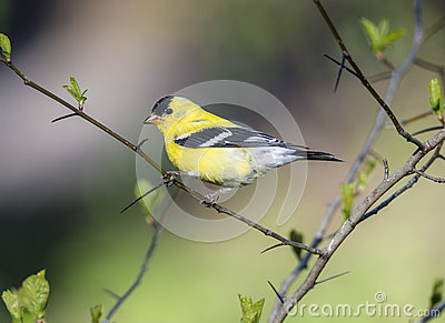 American Goldfinch (Spinus Tristis) Royalty Free Stock Photo.