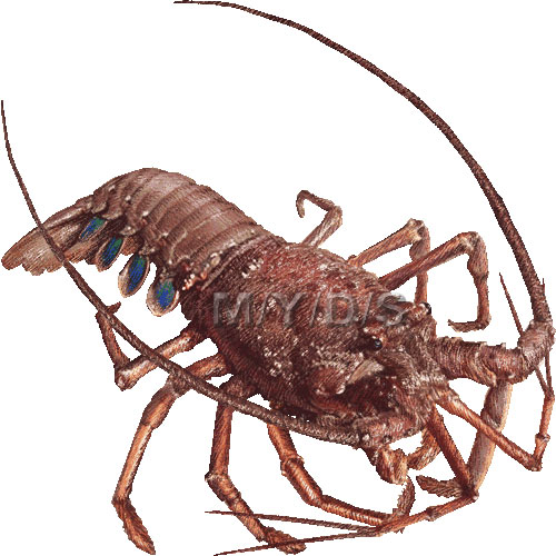 Spiny lobster clipart.