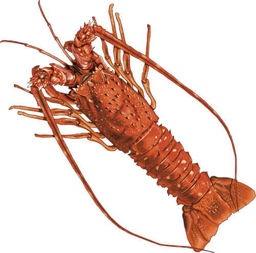 Spiny lobster clipart 3.