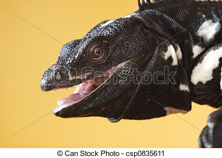 Stock Photography of Spiny Tailed Iguana.