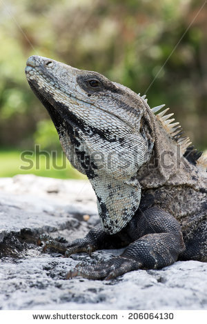 Spiny Tailed Iguana Stock Photos, Royalty.