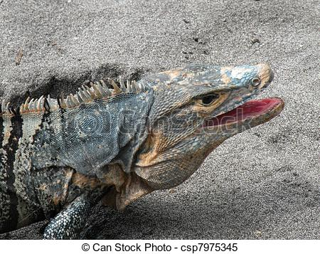 Stock Images of Spiny tailed black Iguana.