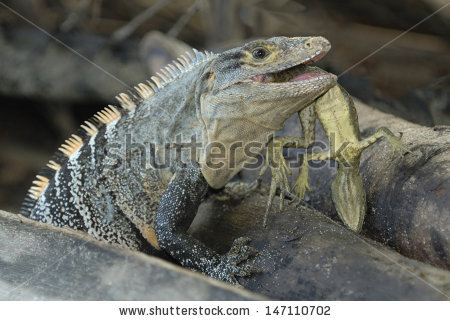Black Spinytailed Iguana Ctenosaura Similis Eating Stock Photo.