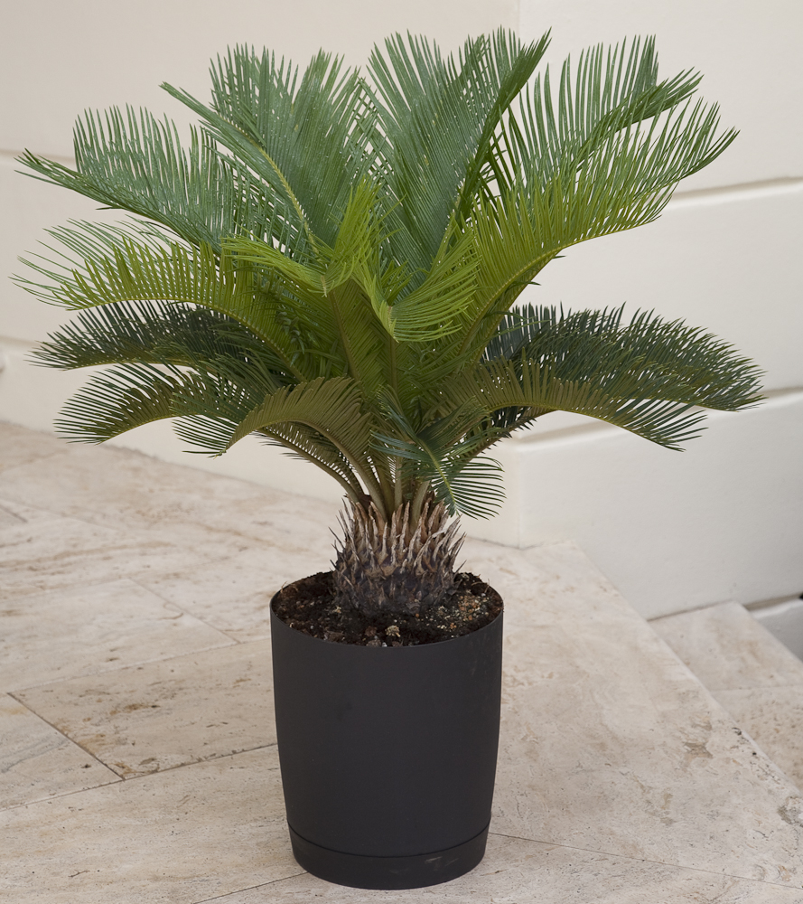 While not a palm, this showy plant has large bright green leaves.