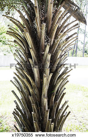 Stock Image of Spiny trunk of a date palm, North Florida x19750355.