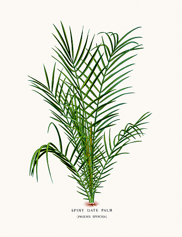 Date Palm Tree Clip Art, Vector Images & Illustrations.