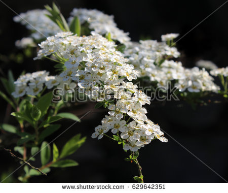 Spiraea.flowering Spiraea Stock Images, Royalty.