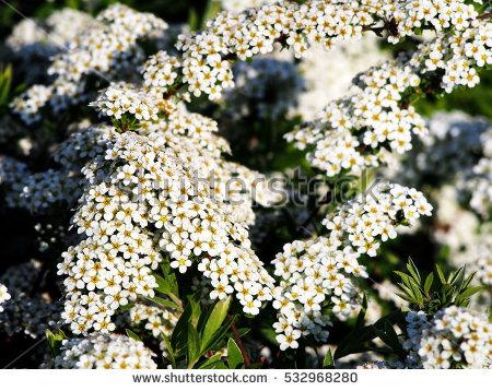 """""""garden Spiraea"""" Stock Photos, Royalty."""