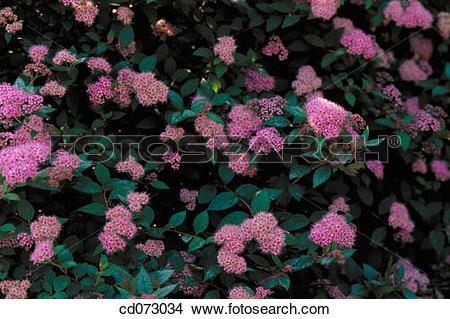 Stock Photo of Japanese Spirea (Spiraea japonica Norman.
