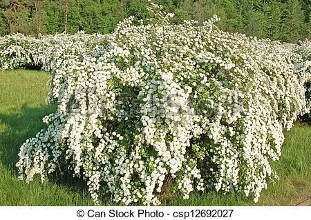 Stock Photo of Spiraea alpine spring flower.