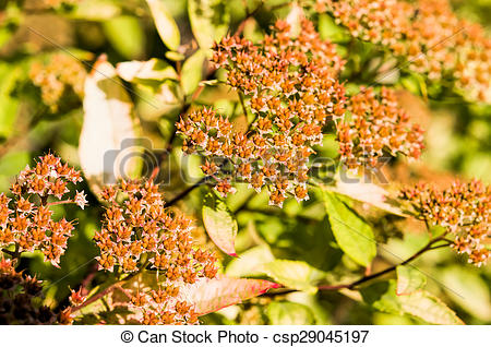 Stock Photographs of Spiraea Japonica Fruits.