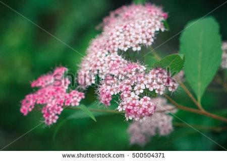 Pink Spiraea Stock Photos, Royalty.