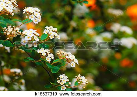Stock Photograph of White Spiraea (Meadowsweet) Flowers k18537319.