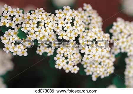 "Stock Image of Spirea (Spiraea trilobata Fairy Queen"")"" cd073035."