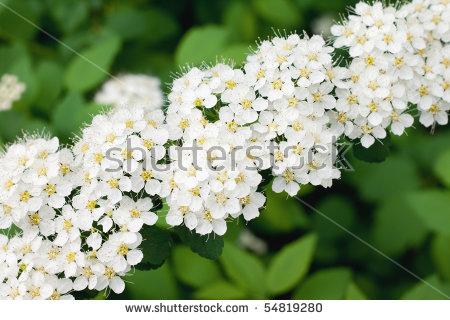 Spiraea X Vanhouttei White Flowering Shrub Stock Photo 30203320.