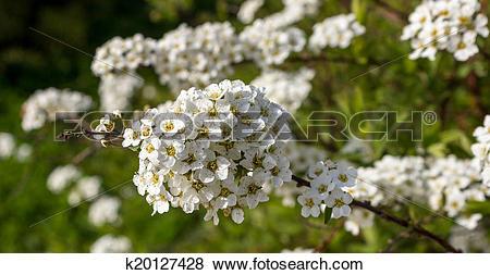 Pictures of Spirea Vangutta, Spiraea vanhouttei k20127428.